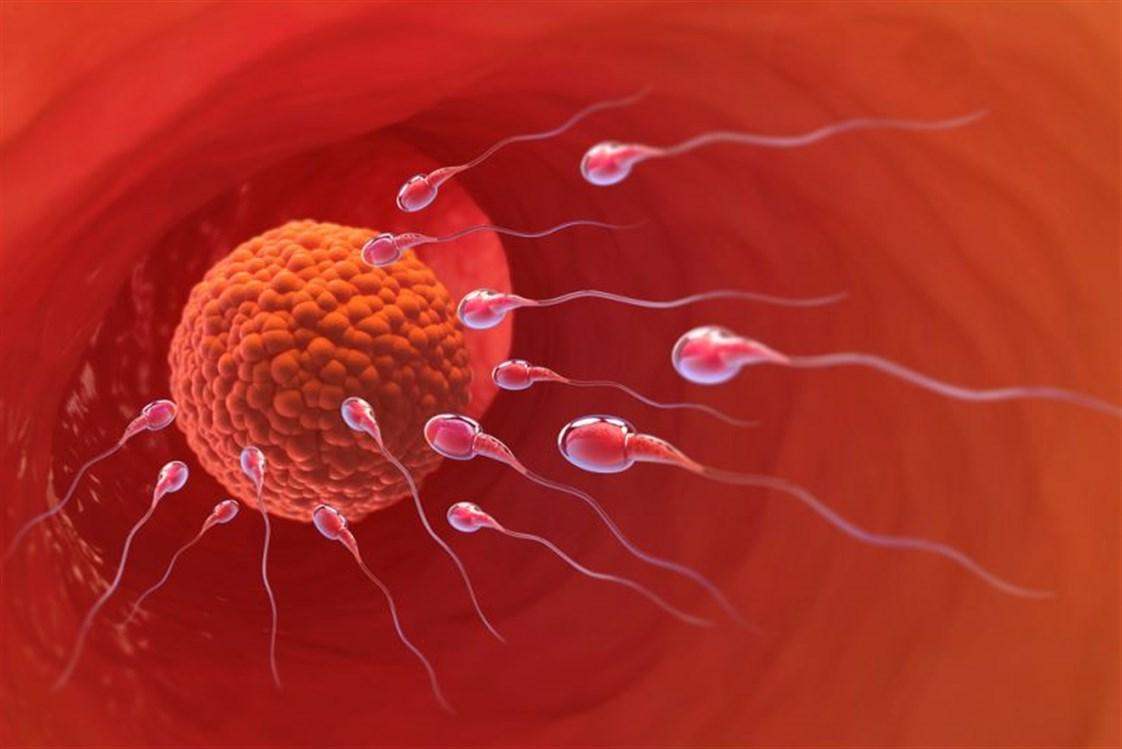 صورة متى تكون البويضة جاهزة للتلقيح بعد الدورة , انسب موعد لحدوث الحمل