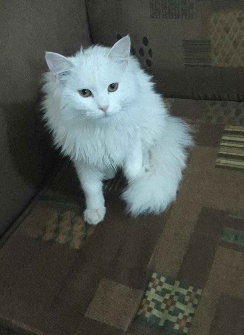صورة تفسير حلم القطه البيضاء , القطط البيضاء في المنام