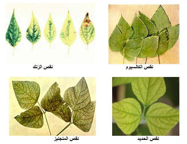 صورة اعراض نقص البوتاسيوم في النبات , عنصر مهم لكل نبات حتى يستطيع النمو