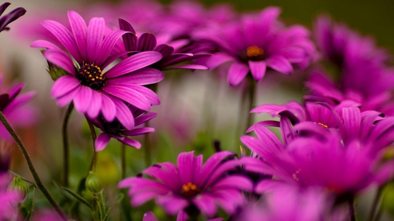 صورة صور ورود بنفسجية , اجمل الازهار البنفسجية