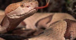 صورة اين توجد حاسة الشم لدى الثعبان , معلومه غريبه عن الثعابين
