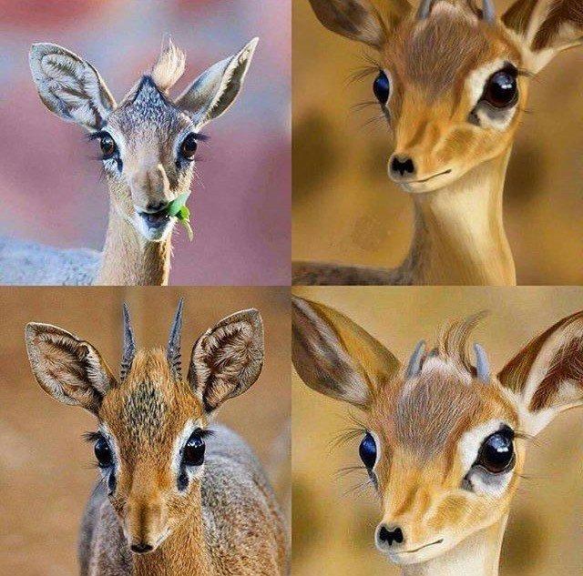 صورة ما هي عيون المها , حيوان جميل له عيون واسعة مكحلة