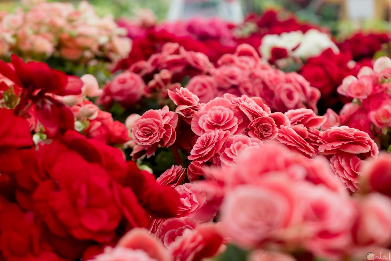 صورة صور ورد رقيقة , زهور وباقات ورد رومانسيه شاهديها