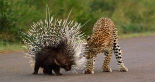 صورة الحيوان الذي عينه اكبر من دماغه , حيوانات مافيش اغرب منها