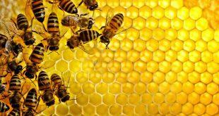 فوائد عسل النحل , اهم فائدة في عسل النحل