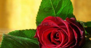 صورة صور دموع الورد , مشاعر ودموع نراها في الورد