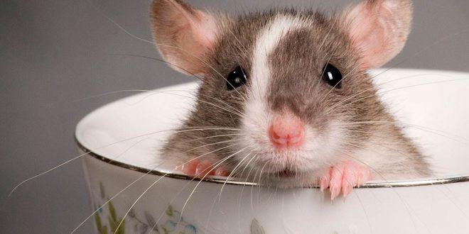 صورة الفئران في المنام للعزباء , رؤية فار في الحلم وتفسيرها