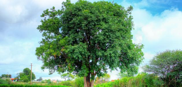 صورة اضرار شجرة النيم , تعرف اكثر على هذه الشجرة العظيمة 4067