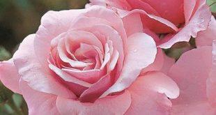 صورة متع عيونك بجمال الورود , صور ورود طبيعيه روعه