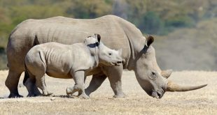 صورة معلومات عن وحيد القرن , اكثر حيوان مهدد بالانقراض unnamed file 159 310x165