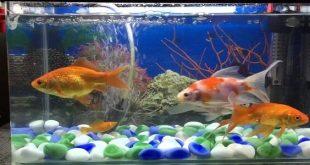 صورة تربية الاسماك في الاحواض المنزلية , واسرار جديدة عن السمك unnamed file 163 310x165