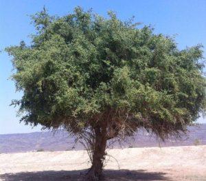 صورة فوائد السدر للجسم , تعرف على اهمية تناول بذور شجرة السدر unnamed file 266 300x263